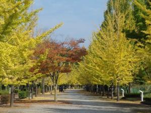 秩父ミューズパークの銀杏並木の紅葉状況2015年10月