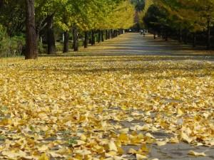 秩父ミューズパーク銀杏並木と落ち葉の絨毯2015