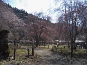 荒川のしだれ桜