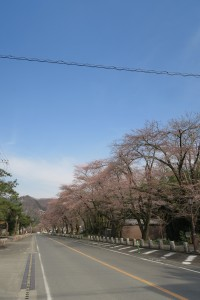 長瀞法善寺の桜と菜の花