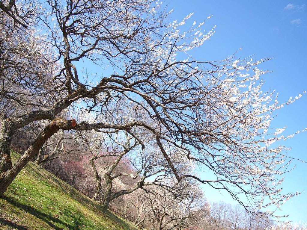 ミューズパークの梅園と青空