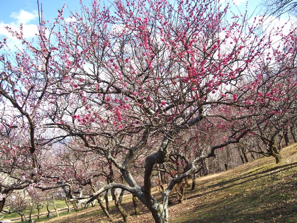 ミューズパーク梅園の紅梅