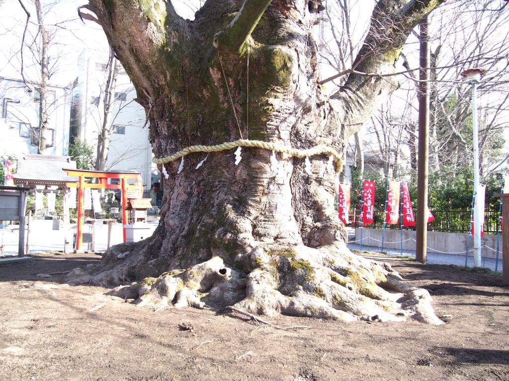 樹齢千年以上と言われる今宮神社のご神木