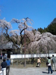 清雲寺本堂前のしだれ桜見物客