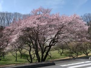 ミューズパーク梅園の桜