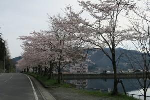 姿の池と満開の桜 2016.4.8