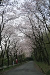 車道沿いの桜 美の山ハイキング