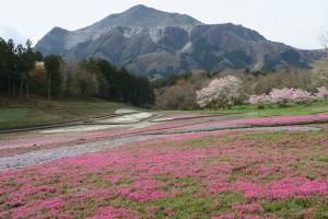 羊山公園の芝桜2016.4.8