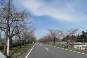 ミューズパークテニスコート 桜並木