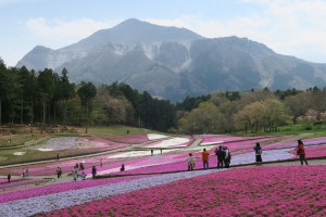 秩父羊山公園の芝桜が見頃2016.4.13
