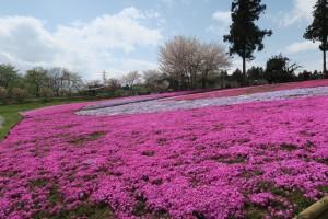 羊山公園の芝桜の様子2016.4.13