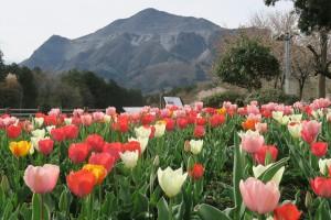 武甲山とチューリップ 羊山公園