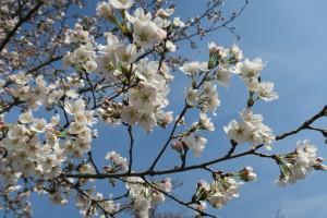 羊山公園の桜2016年3月31日