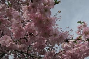 羊山公園の八重桜