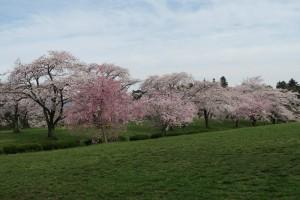 羊山公園のお花見広場