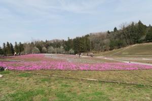 芝桜2016.3.31