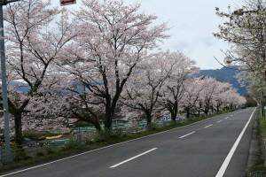 秩父ミューズパークの桜並木2016.4.8