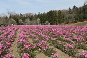 芝桜2016.3.31羊山