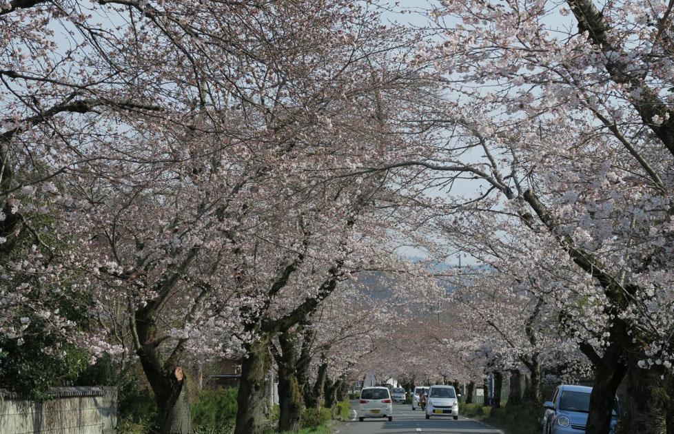 秩父長瀞の桜街道の開花速報2016