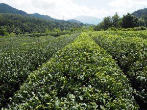 出浦園の茶畑