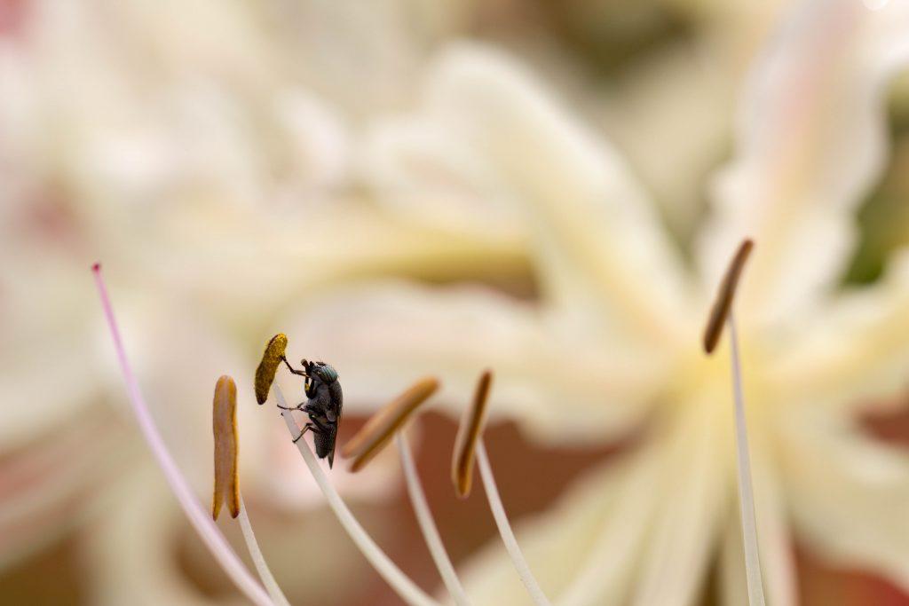 白い曼珠沙華にとまる昆虫