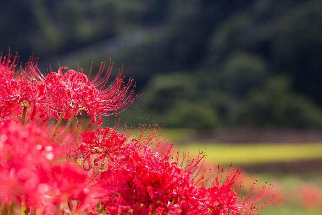 咲き誇る曼珠沙華