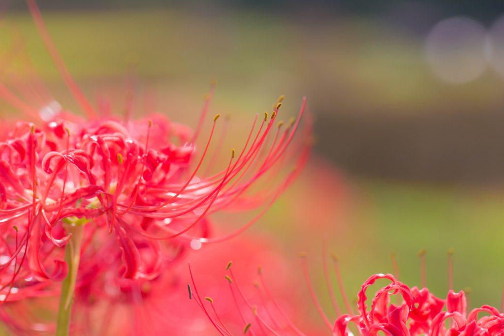 美しい雨粒と曼珠沙華