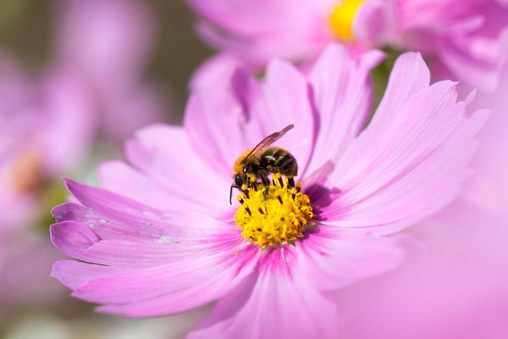 秋桜の密を吸うミツバチ