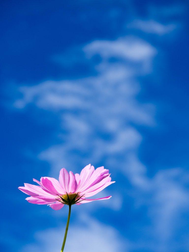 青空と一輪の秋桜