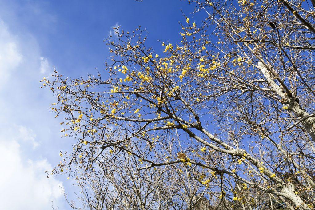 宝登山の蝋梅 3割咲き