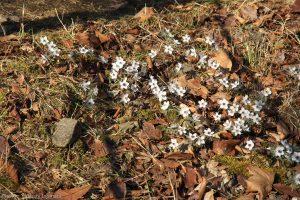 節分草自生地 きれいで可憐な花