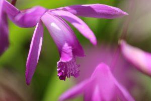 紫色の紫蘭 複数の花 花金4