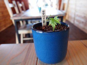 メープルベースのテーブルに置かれているカエデの苗木