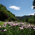 小鹿野の花しょうぶ園が見ごろを迎えました♪