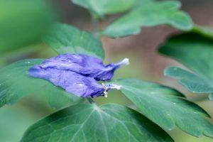 青色のオダマキ 葉に落ちた花びら 花金7