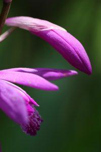 紫色の紫蘭 つぼみ 花金4