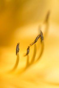 黄色いヘメロカリス おしべ 花金7