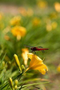 黄色のヘメロカリス 赤とんぼ 花金1