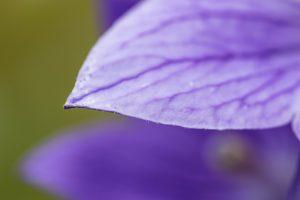 キキョウ 花びら2 花金10