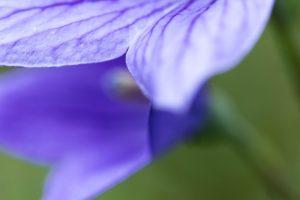 キキョウの花びら1 花金1