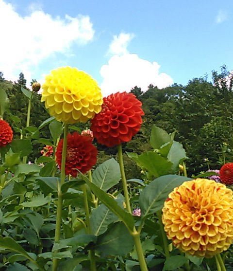 小鹿野ダリア園 かわいいお花 ちーぽん