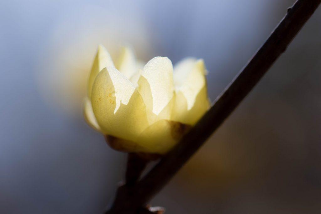 満開のロウバイ 花金4