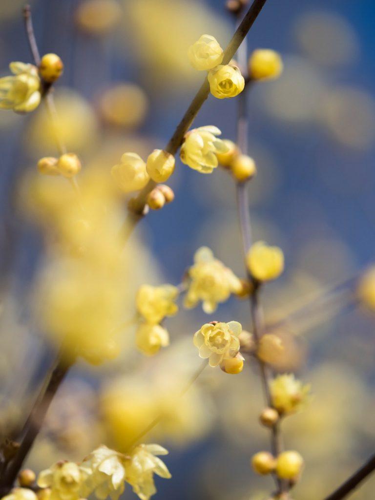 満開のロウバイ 花金アイキャッチイメージ