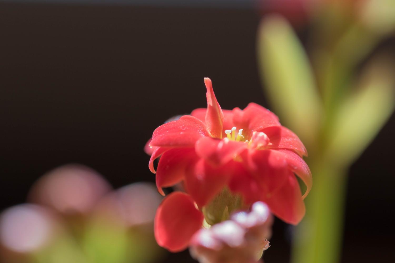 カランコエ 花金4