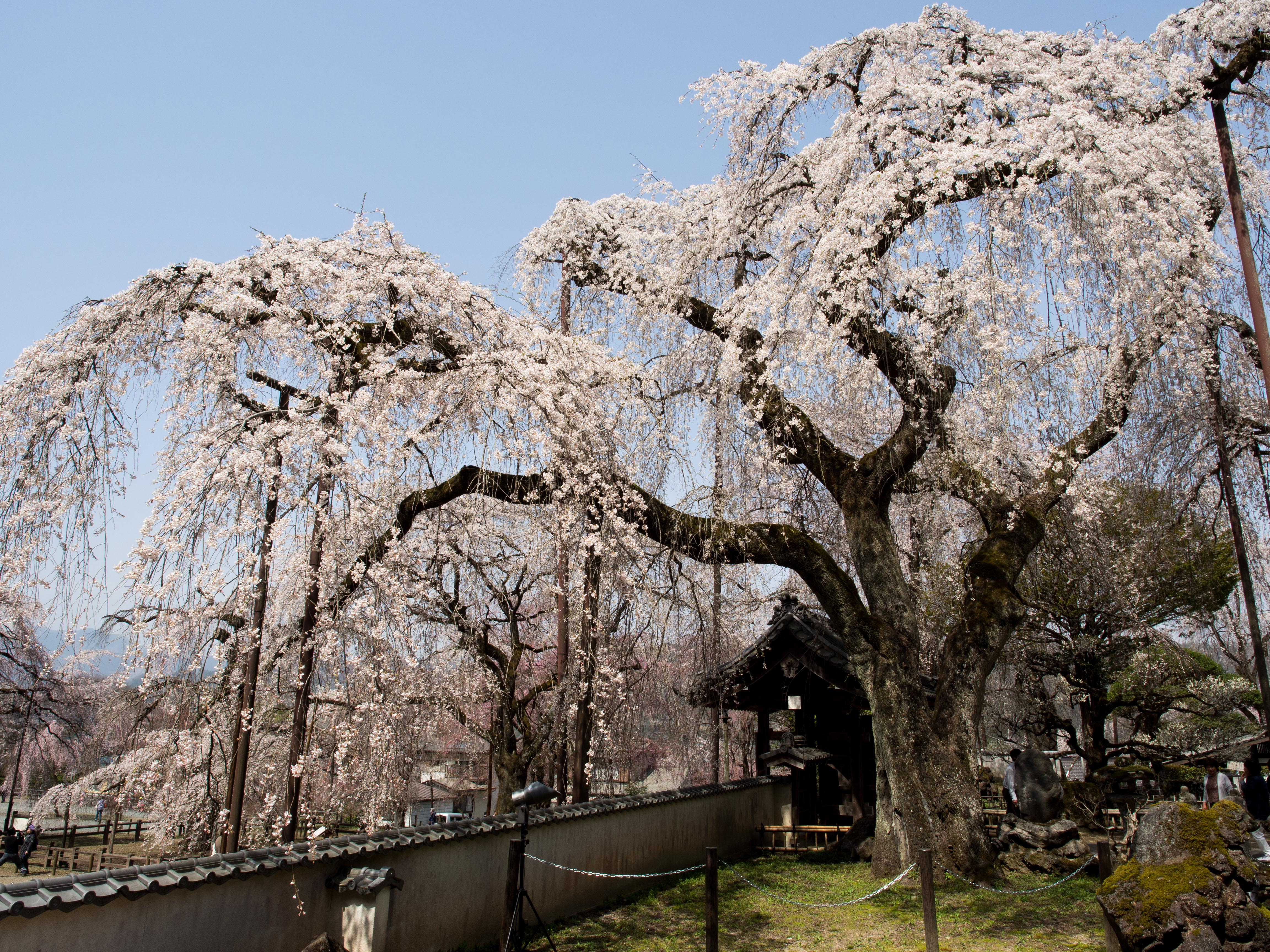 清雲時の桜 花金1