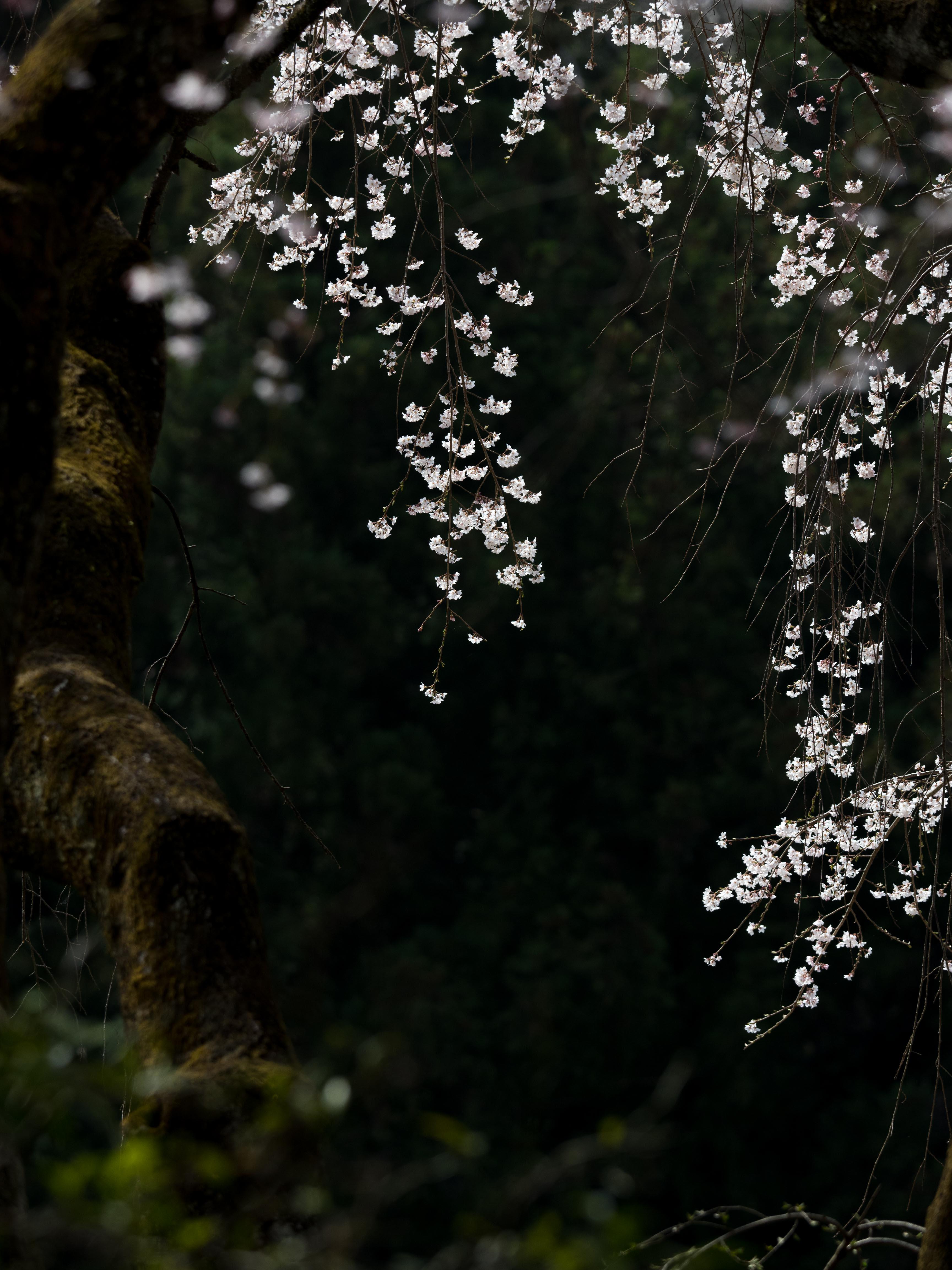 清雲時の桜 花金6