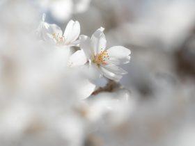 清雲時の桜 花金 アイキャッチイメージ