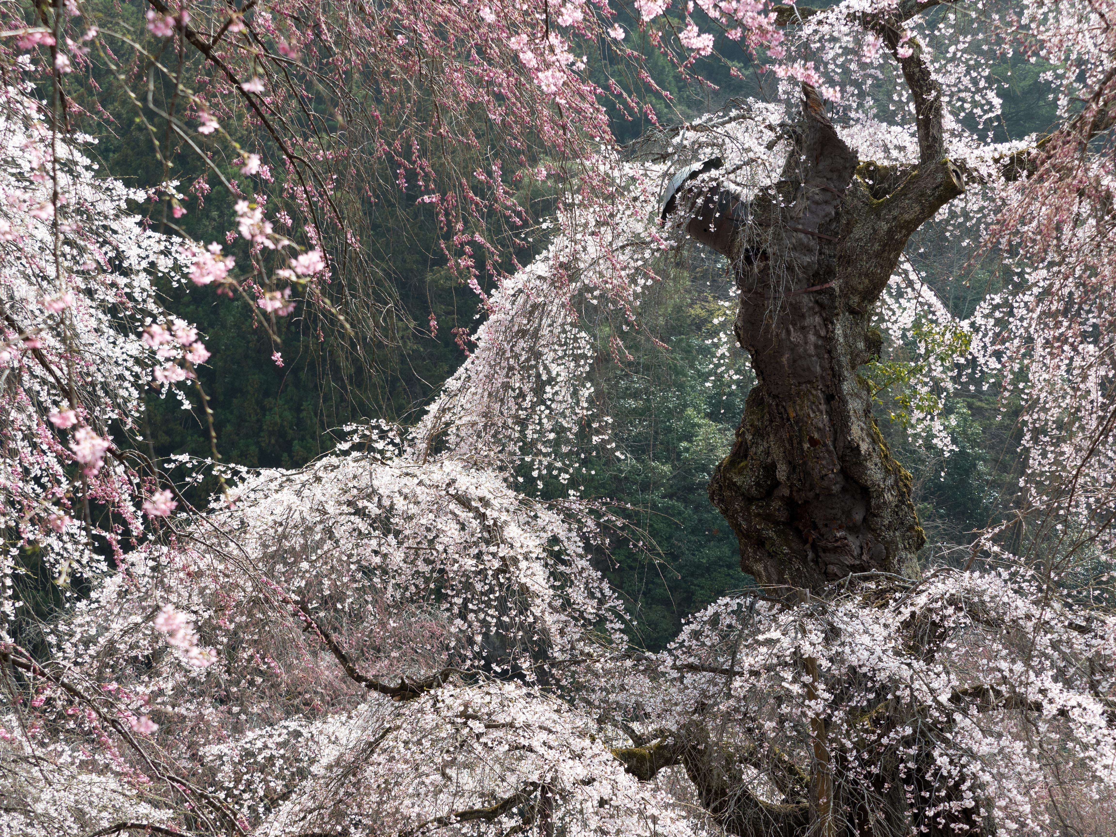清雲時の桜 花金3