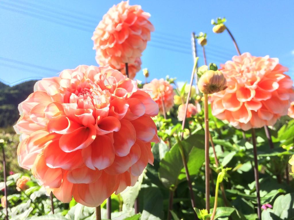 小鹿野ダリア園に咲いているダリア
