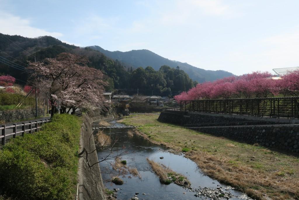 元気村と吉田川沿いの花桃